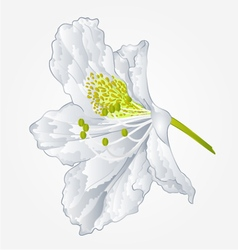 Rhododendron mountain spring shrub white flower vector
