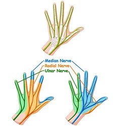 Color diagram showing hand nerve vector