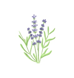 Watercolor lavender on the white background vector