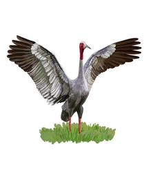 Sarus crane bird spread the wings on green grass vector