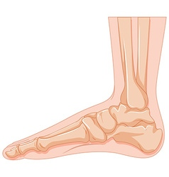 Human foot bone on white background vector image vector image