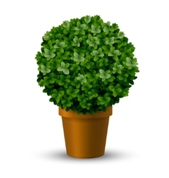 Decorative spherical boxwood in a pot vector