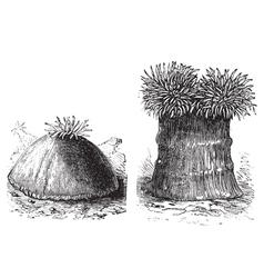 Sea anemone vintage engraving vector image