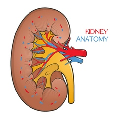 Human kidney in a cut vector