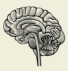 Human brain - vintage engraved vector