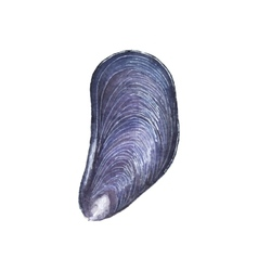 Watercolor mussel on the white background vector