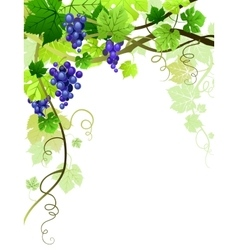 Grapes background vector