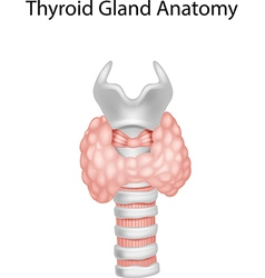 Cartoon of thyroid gland anatomy vector