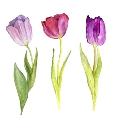 Three watercolor tulips vector