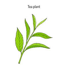 Tea plant camellia sinensis vector