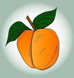 picture of a ripe apricot vector image
