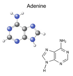 Chemical structural formula and model of adenine vector