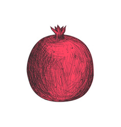 Fresh pomegranate fruit hand drawn isolated icon vector