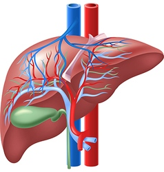 Human internal liver and gallbladd vector