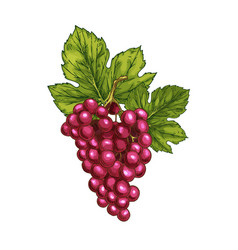Red grape sketch isolated fruit berry vector