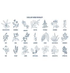 Best herbs for beauty vector
