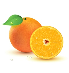 Juicy oranges vector