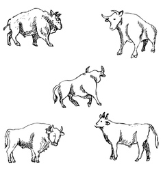 Bulls Sketch pencil Drawing by hand vector image vector image