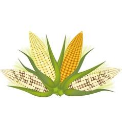 Four ears of corn with husk and silk vector