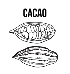 Hand drawn whole and half cacao fruits vector image vector image