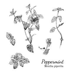 Hand drawn peppernint ink sketch set vector image