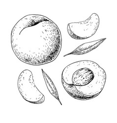 Peach drawing isolated hand drawn full and vector