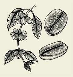 Coffee plant branch vector