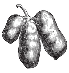 Common pawpaw engraving vector image vector image