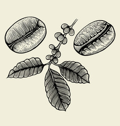 hand drawn arabica beans vector image