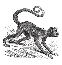 Red-faced spider monkey vector