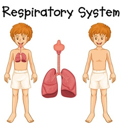 Respiratory system in boy vector image vector image