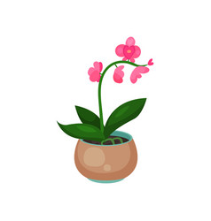 orchid phalaenopsis houseplant potted flower vector image vector image