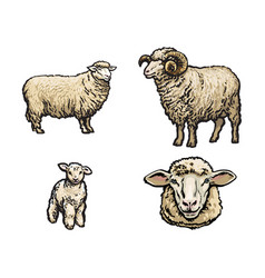 sketch sheep lamb horned ram set vector image vector image