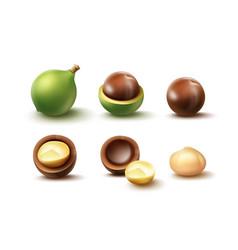 set of macadamia nuts vector image