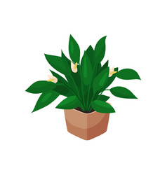 spathiphyllum houseplant potted flower vector image vector image