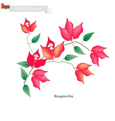 Red bougainvillea flowers native flower of oman vector