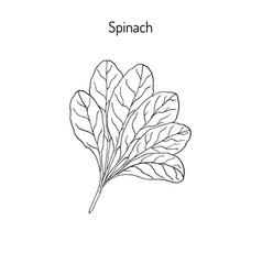 hand drawn spinach leaves vector image vector image