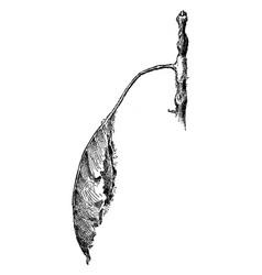 Promethea moth cocoon vintage vector