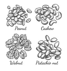 walnut cashew pistachio and peanut vector image vector image
