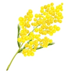 Yellow mimosa flower mimosa flower symbol of vector
