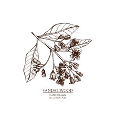 Sandalwood vector