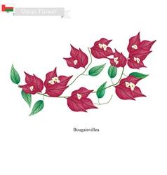 Pink bougainvillea flowers native flower of oman vector