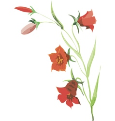 red flower of campanula vector image