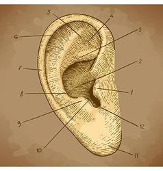 Engraving ear retro vector