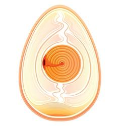 Inner shell membrane vector