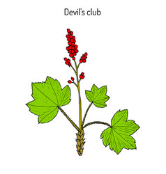 Devil s club or walking stick oplopanax horridus vector