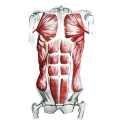 Abdominal muscles vector image