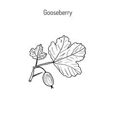 hand drawn green gooseberry branch vector image vector image