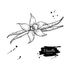 Vanilla flower and bean stick drawing hand vector