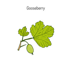 hand drawn green gooseberry branch vector image